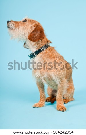Little brown mixed breed dog isolated on light blue background. Studio shot. - stock photo