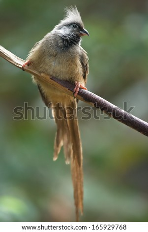 Little brown Mousebird with long tail feathers on branch green background - stock photo