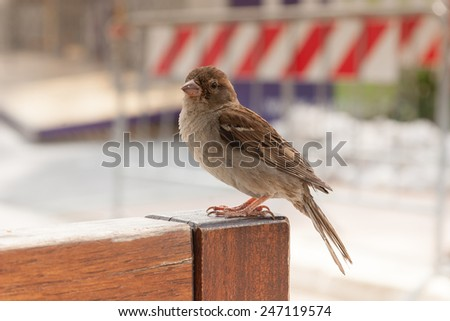 Little Brown Sparrow on the bench at summer day - stock photo