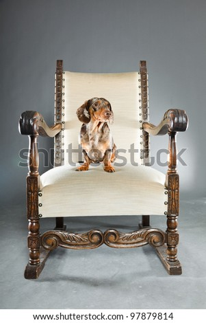 Little brown spotted dachshund sitting on big chair isolated on grey background - stock photo