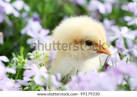 Little Buff Orpington chick in the middle of a bed of lavendar colored spring flowers. Extreme shallow depth of field. - stock photo