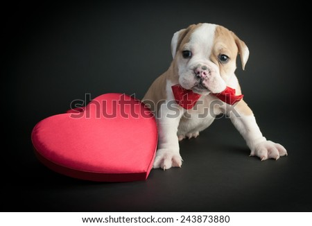 Little Bulldog puppy sitting with a heart on a black background. - stock photo