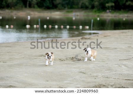 little bulldogs play on the sands - stock photo
