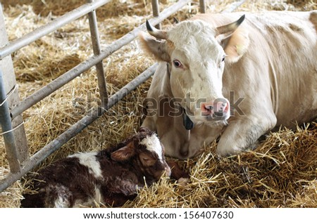 little calf in the straw with her mom cow that protects