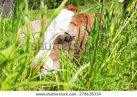 Little Calf resting in a meadow - stock photo