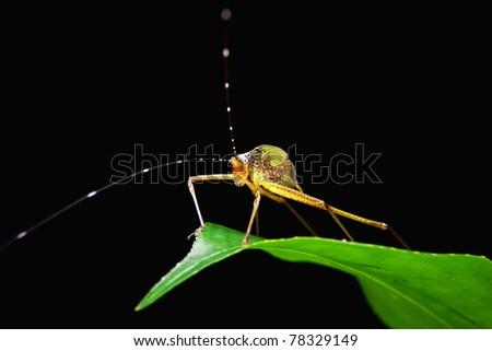 Little capricorn beetle standing on green leaf - stock photo