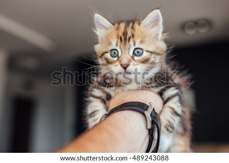 Little cat is holding by a man's hand. Home background.