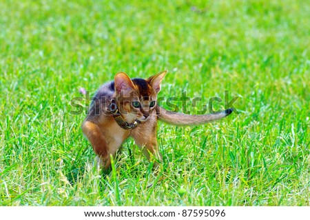 little cat of abyssinian over green grass background