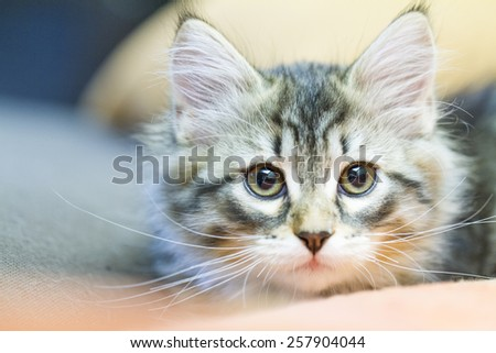 little cat of siberian breed, brown version
