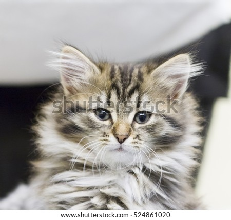 little cat of siberian breed, long haired brown version