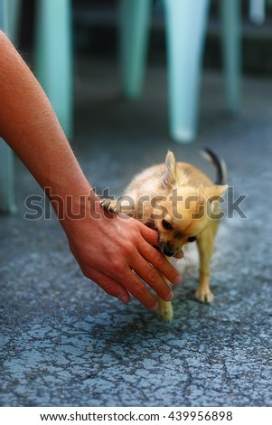 little charming adorable chihuahua puppy on blurred background. Attacking a persons hand. - stock photo