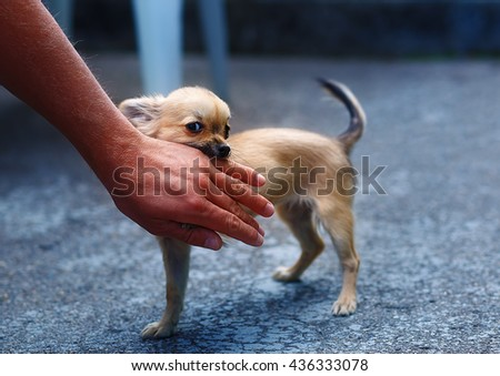 little charming adorable chihuahua puppy on blurred background. Attacking a persons hand. Eye contact - stock photo