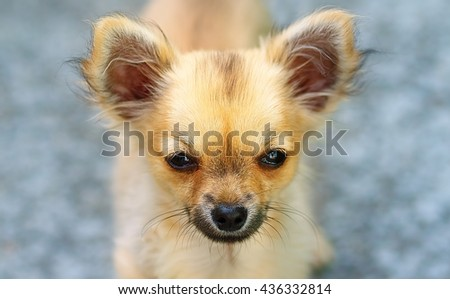 little charming adorable chihuahua puppy on blurred background. Eye contact - stock photo