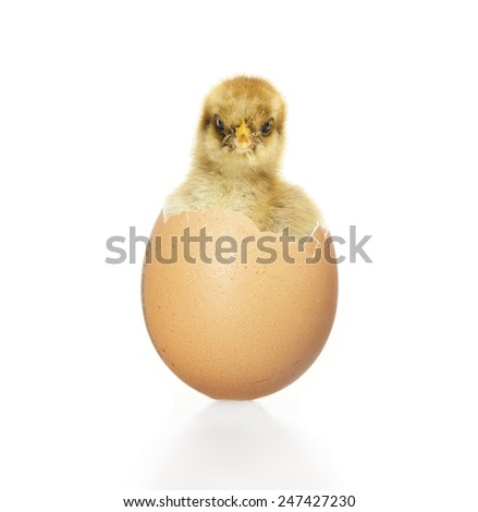 little chick hatching from an egg, white background - stock photo