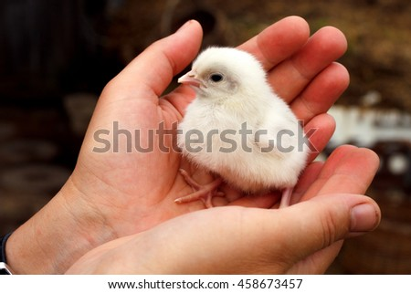 Little chick sitting on the human palm