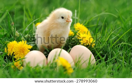 Little chicken and egg in the grass on a farm
