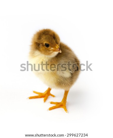 Little chicken animal isolated on white background - stock photo