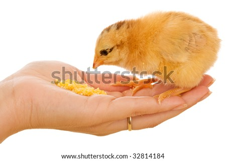 Little chicken in woman hand eating corn flour