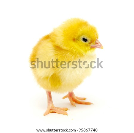 little chicken isolated on the white