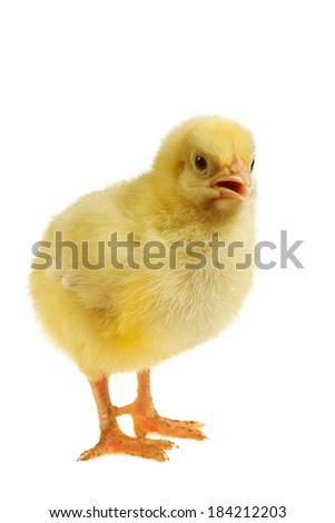 Little chicken isolated on white