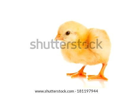 little chicken on a white background, is isolated