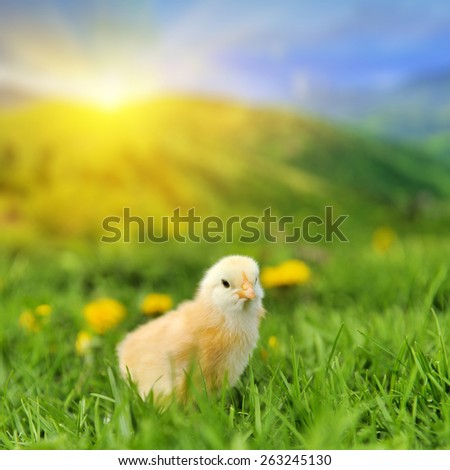 Little chicken on the green grass in summer day - stock photo