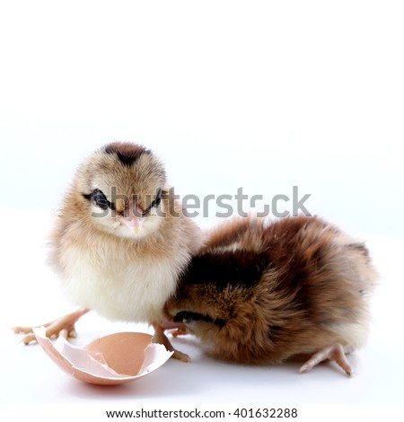 Little chicken with egg on a light background