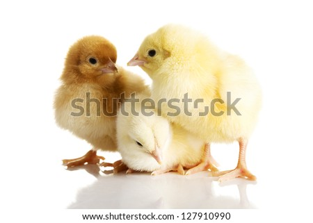 Little chickens - stock photo