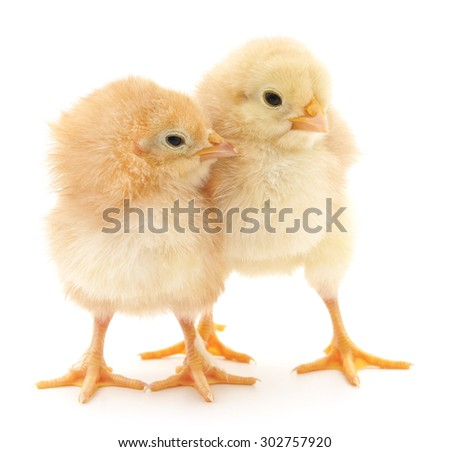 Little chickens isolated on a white background.