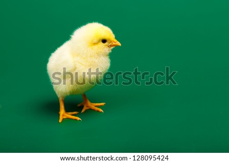 Little chicknen on white background