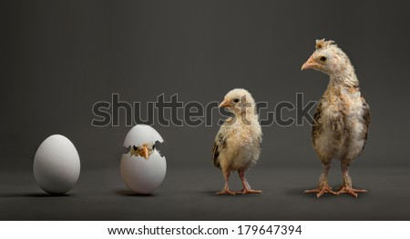little chicks and white egg on grey background, growth progress concept - stock photo