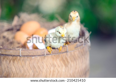 Little chicks in the hay with eggs. Hatching eggs - stock photo