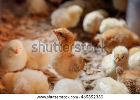 Little chicks on a poultry farm. Industrial poultry. Group of newly hatched chicks on a chicken farm.