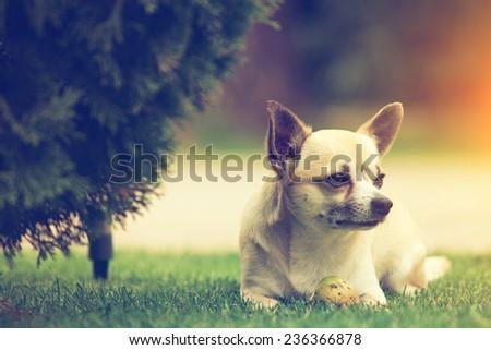 Little Chihuahua - stock photo