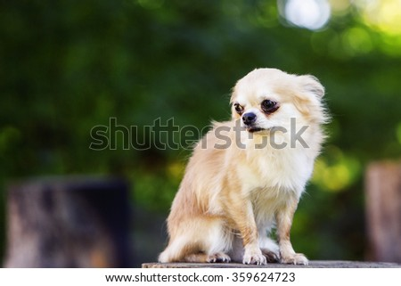 Little chihuahua afraid looking afraid and shy