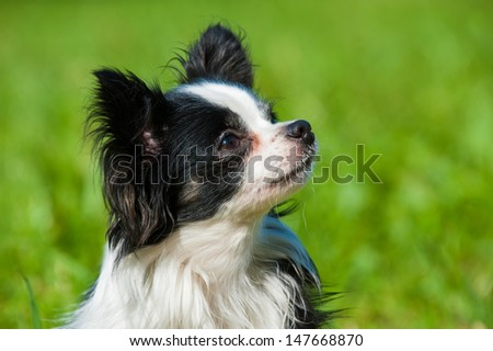 Little chihuahua dog in a meadow - stock photo