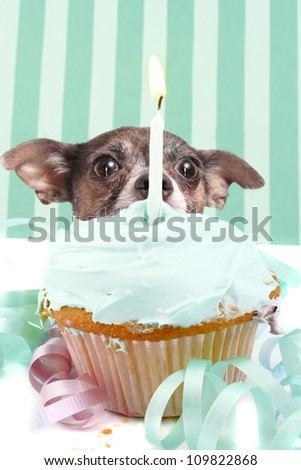 Little chihuahua hiding behind birthday cupcake with frosting and a candle surrounded by decorations - stock photo