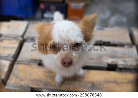 Little chihuahua's sitting on the wood palate - stock photo