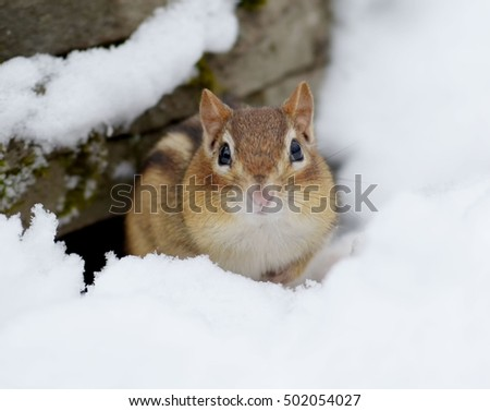 Little chipmunk hiding out in the snow