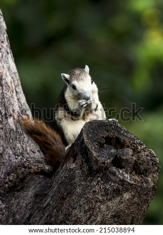 Little Chipmunk sit on crotch tree, in hand hold something to eat ,green background with out of focus. - stock photo