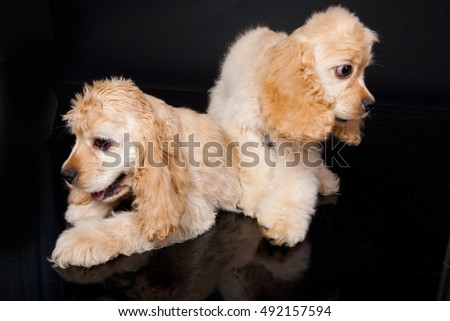 Little cocker spaniels on a black background