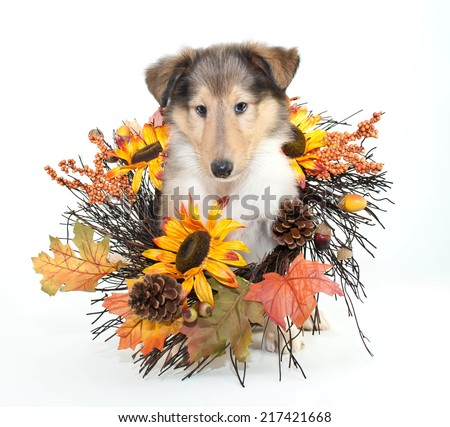 Little Collie puppy with fall decor all around him, on a white background. - stock photo