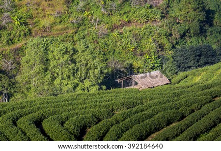 Little cottage in tea field - stock photo