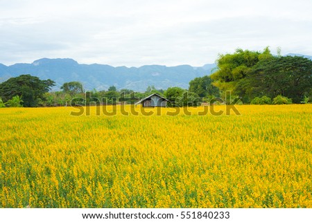 Little cottage in the field of yellow flowers.