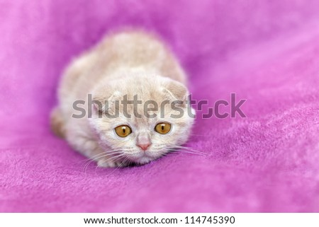 Little cream cat lying on violet lying background