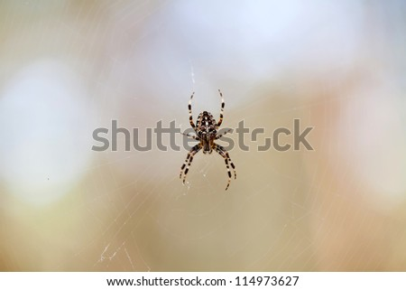 Little cross spider on web in forest