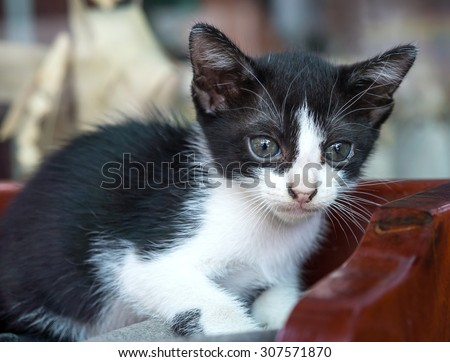Medium Hair Black White Kitten Lying Stock Photo 479939020 ...