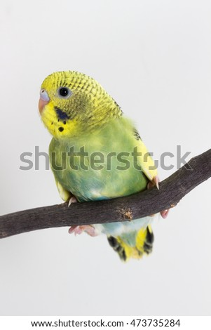 Little Cute Budgerigar, Budgie, Bird on white background