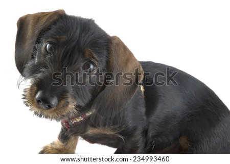 Little cute dachshund