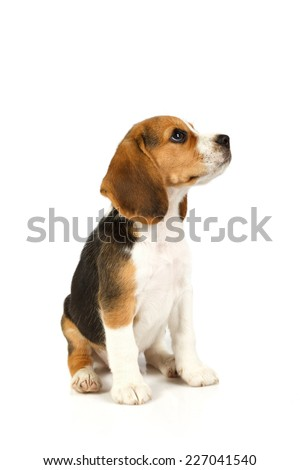 Little cute dog sitting. isolated on white background